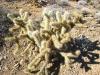 jumping-cactus