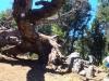 fallen oak 1