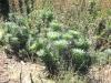 poodle-dog-bush