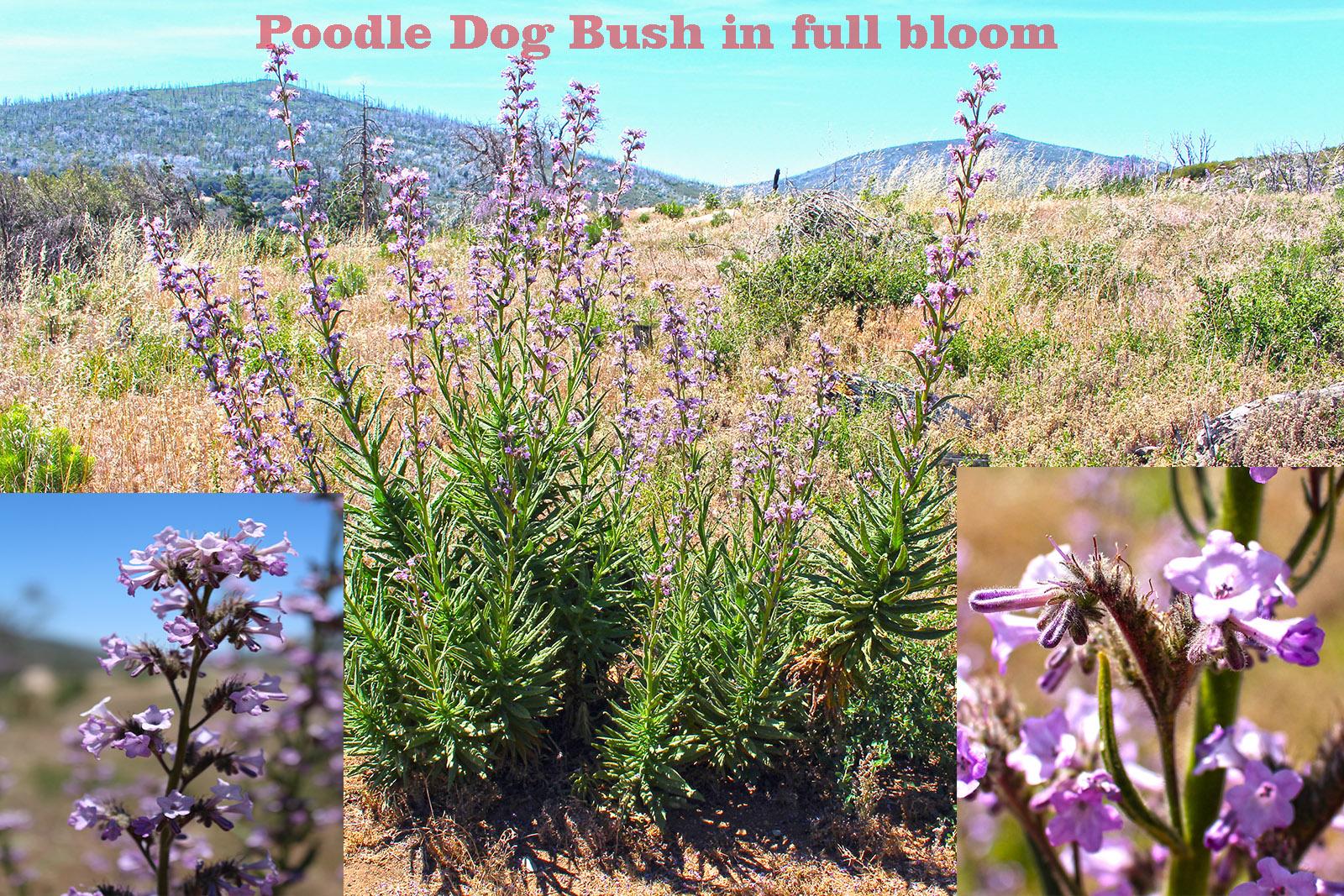 Poodle Dog Bush In Full Bloom I Hike San Diego